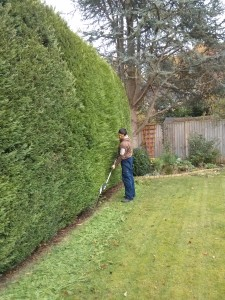 Hedge cutting Godalming, Farncombe